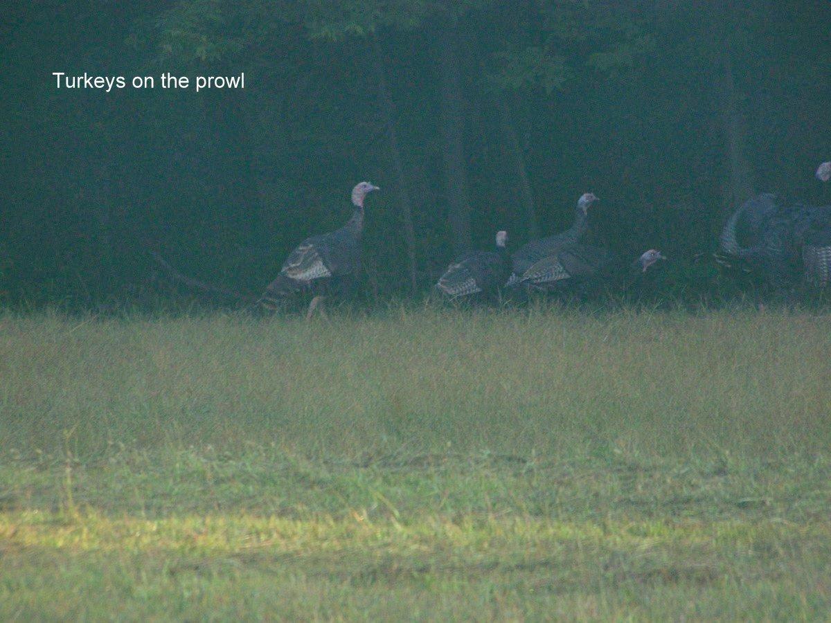 Turkeys on the prowl